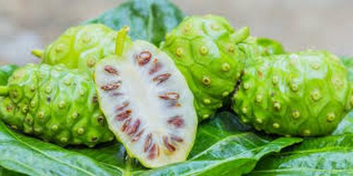 buah mengkudu