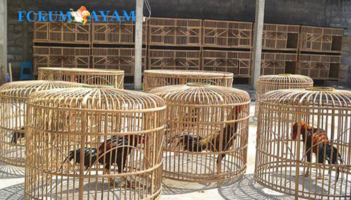 Cara Memperkuat Otot Ayam Bangkok Dengan Udang Tawar