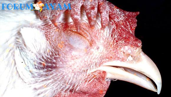 Ayam Aduan Masalah Ngorok