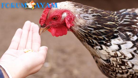 Ayam Tidak mau Makan