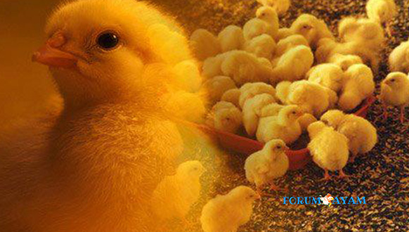 DOC Anakan Ayam