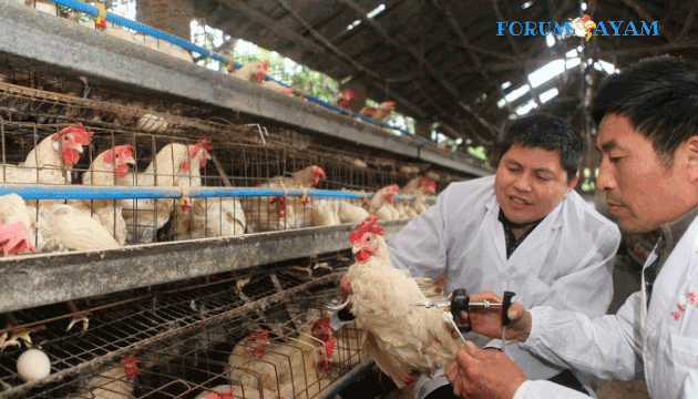 pemberian vaksin ayam petelur - agen sabung ayam