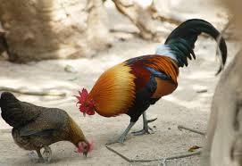 Ayam Hutan Merah