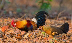 ayam-hutan-merah