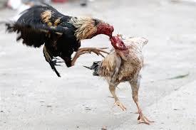 Ciri Khas Ayam Pakhoe