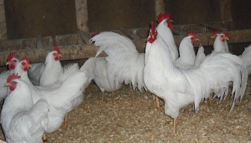 Forum Ayam