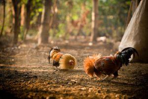 Ayam Bangkok Ganas