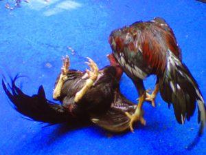 Sejarah Ayam Bangkok