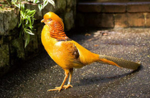 AYAM YELLOW PHEASANT