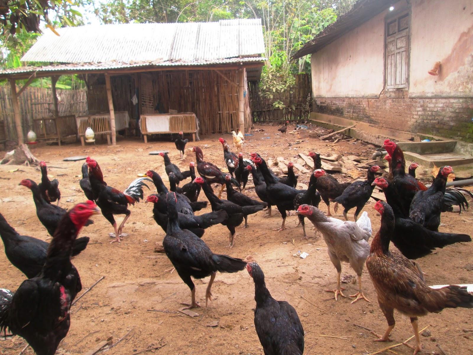 situs togel sabung ayam