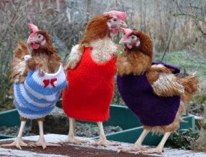 Froum Ayam