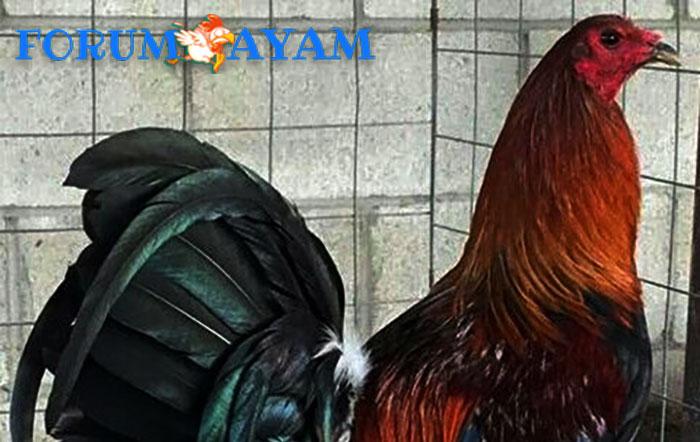 kelebihan dan kekurangan ayam betet