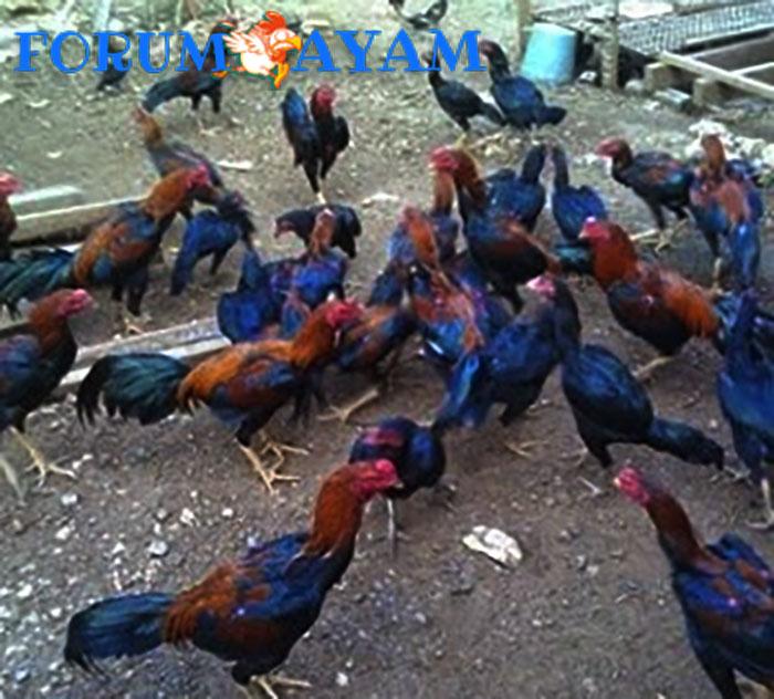 harga ayam bangkok