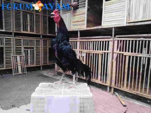 kandang anak ayam