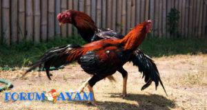 Latihan yang diperlukan Ayam