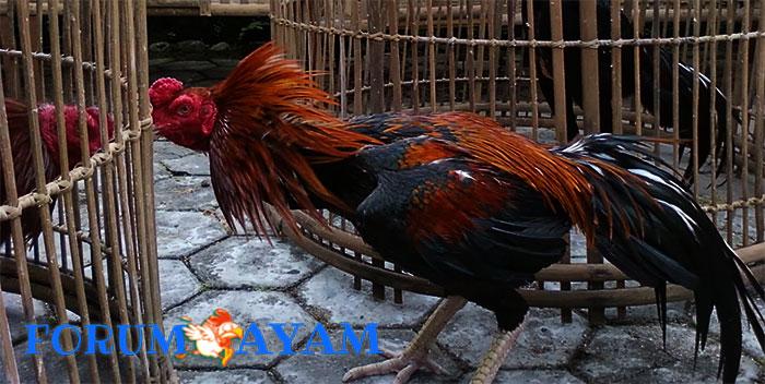 Ayam takut bertarung