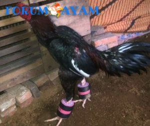 barbel ayam bangkok