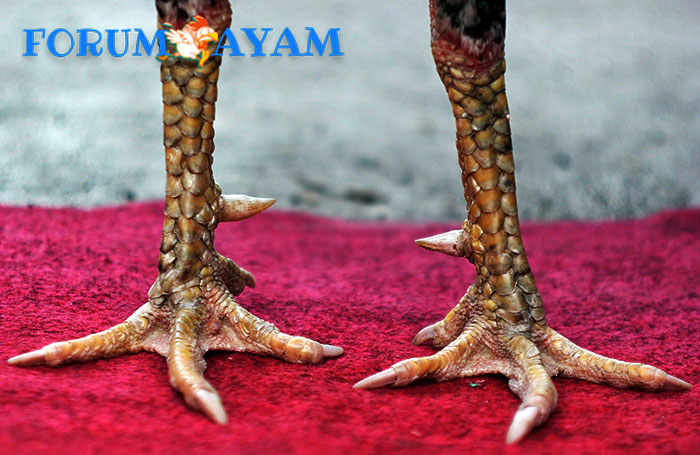 ciri kaki ayam bangkok juara