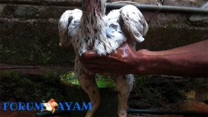 cara memandikan ayam bangkok