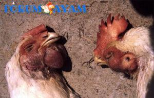 mencegah penyakit ayam bangkok