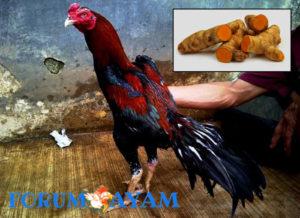 temulawak untuk ayam bangkok