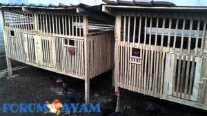 cara merawat ayam muda