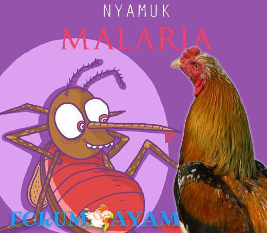 bau ayam menolak nyamuk malaria