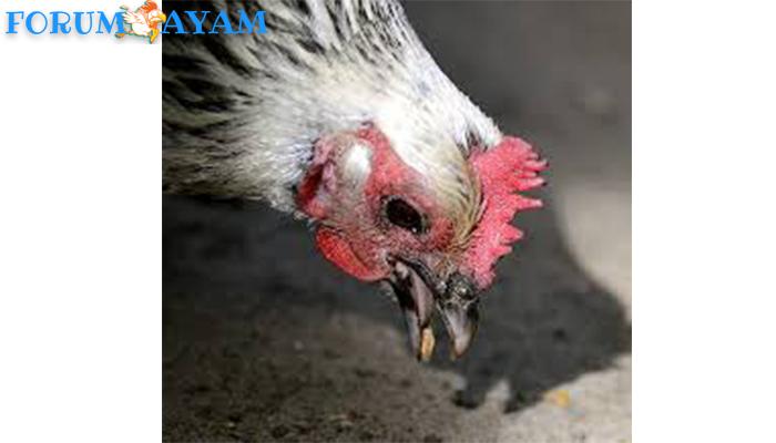 ayam sering makan batu kerikil
