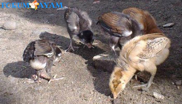 Ayam Yungkilok