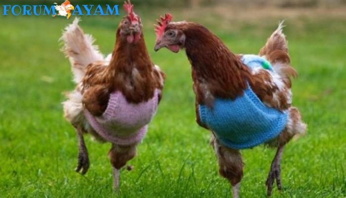 Ayam Zaman Now