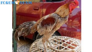 Ayam Pakhoe