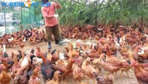 Ayam Buras