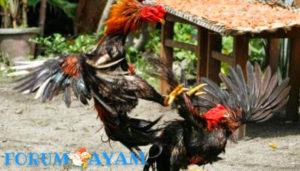 Main sabung ayam online