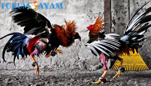 Sabung Ayam Indonesia Asli