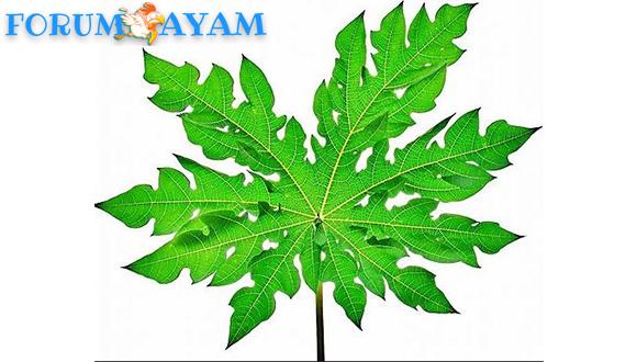 khasiat bunga dan daun pepaya