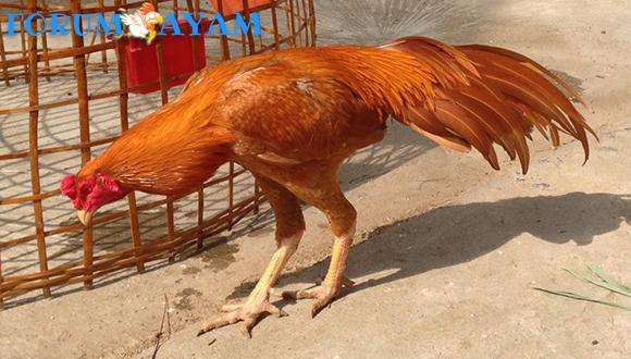 Ayam Bangkok wangkas geni