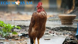 Cara memandikan Ayam Aduan