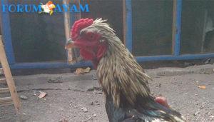 Tips memilih Ayam Birma Asli