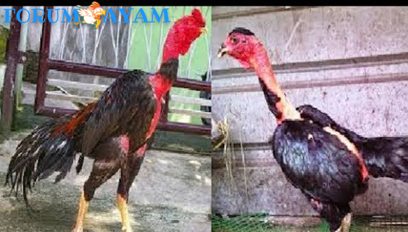 Keunggulan bibit Ayam saigon