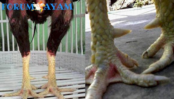 Ayam Turun Urat