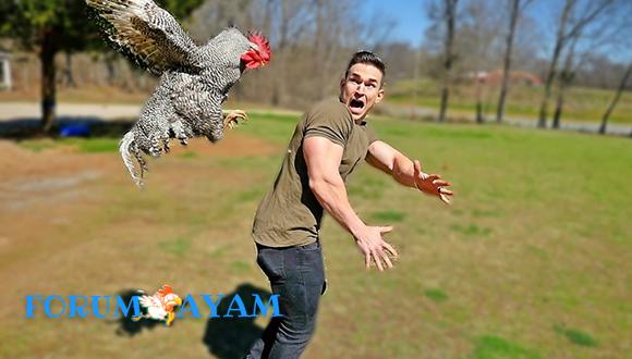 Ayam Kamu Galak
