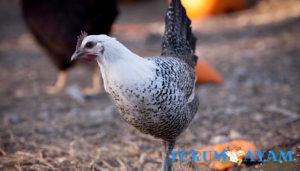 Ayam Faiyumi Mesir