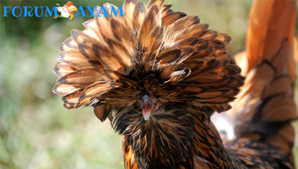 Cara Merawat Ayam Polandia