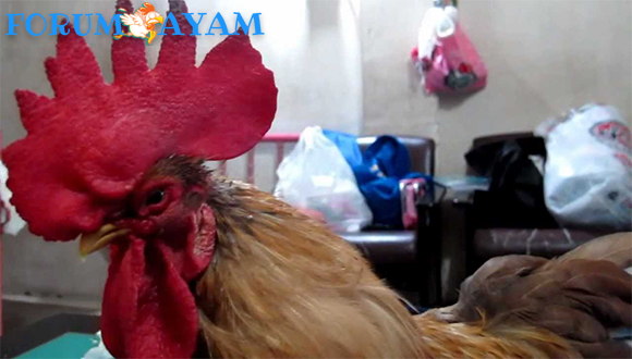 Ayam Nafas Pendek