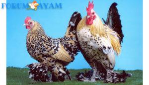 Ayam Kaki Berbulu Jerman