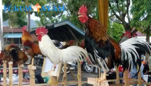 Ayam Ranah Minang Asli
