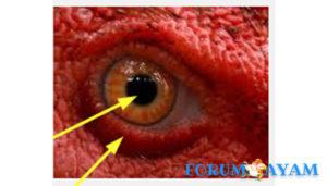 Pengaruh Mata Ayam