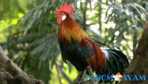 Cara Merawat Ayam Hutan