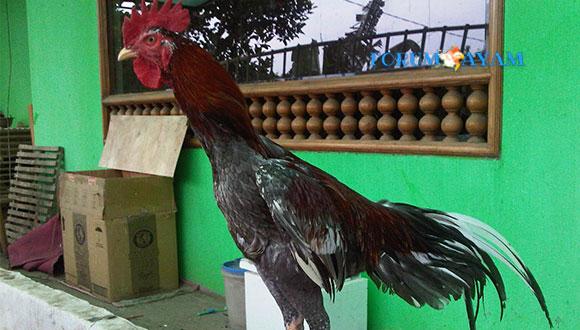 Keunggulan Ayam Birma Kaisar