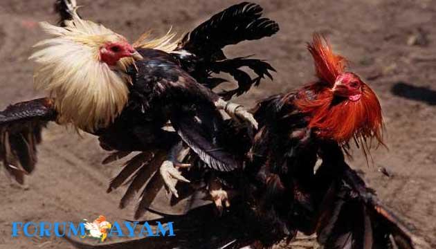 cara ampuh merawat ayam aduan - agen sabung ayam
